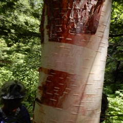 Birch bark - red and white