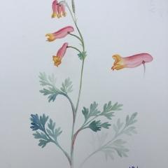 Corydalis sempervirens.