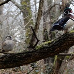 Wood Ducks ©DenisLaplante
