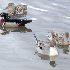 Wood Ducks + Pintails ©DenisLaplante