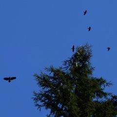 Eagle & Ravens ©Denis Laplante