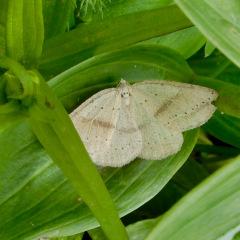 ElkMtn_Moth_DLaplante_6675
