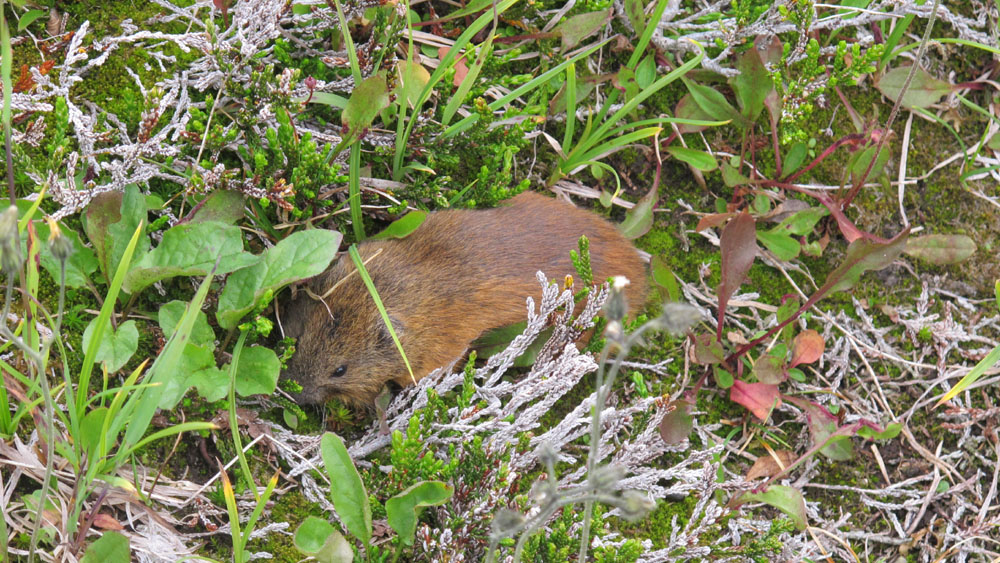 Southern red-backed vole