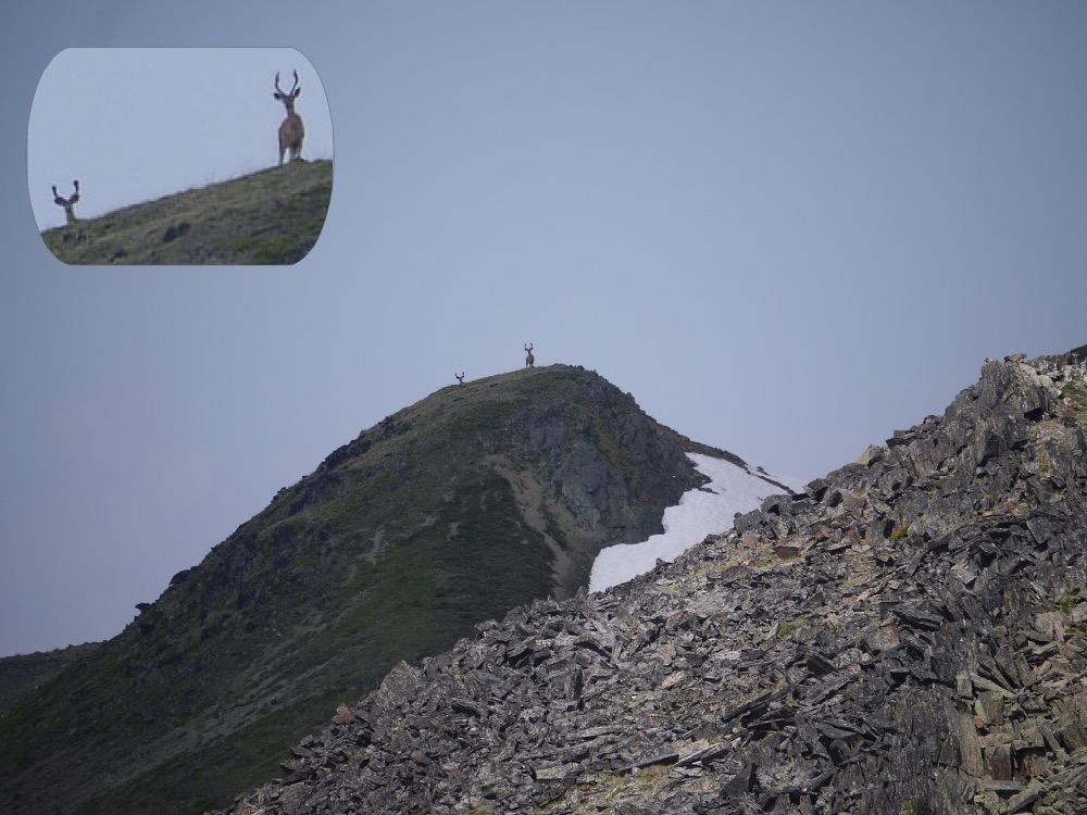 © Jorma Neuvonen - Mule Deer near McGillivray Mt.