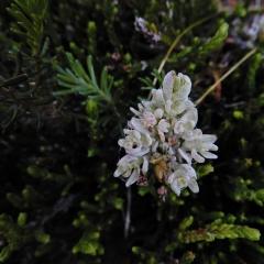 ©Denis Laplante - Flower-like parasite on heather