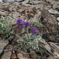 ©Janet Snell - Silky Phacelia at 7900 SW McGillivray ridge