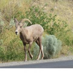 © Viveka Ohman - California Bighorn Young - Hwy12