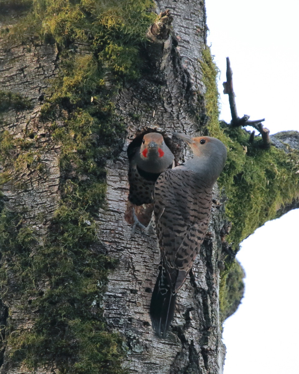 Northern Flickers (Red-shafted)