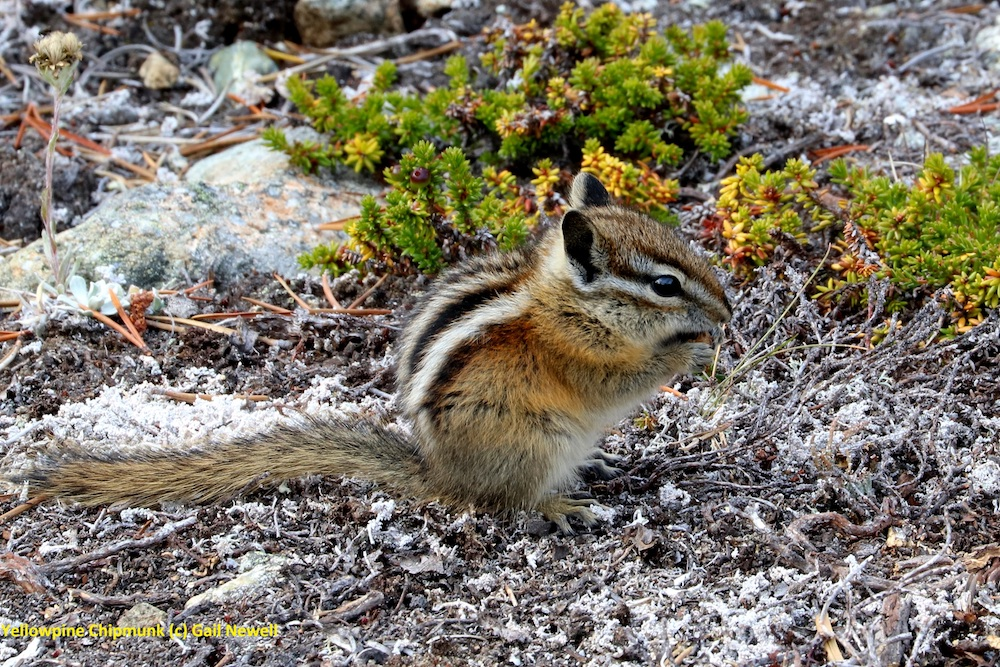 Yellow-pine Chipmunk © Gail Newell