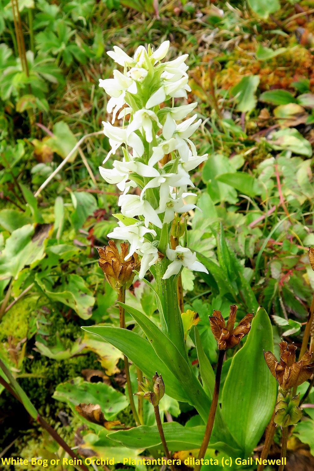 White Bog or Rein Orchid - Plantanthera dilatata © Gail Newell