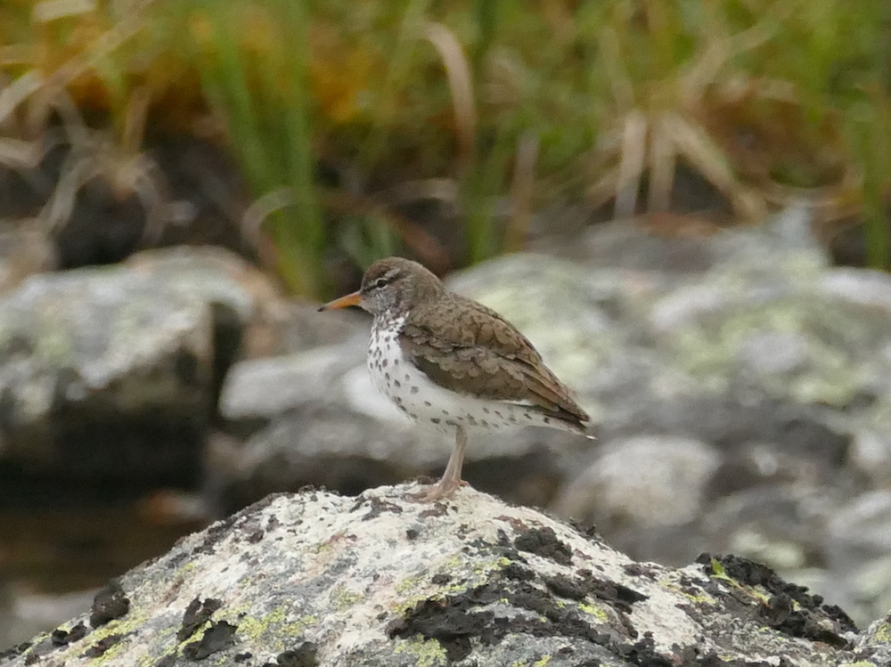 Spotted Sandpiper © Melanie Marchand