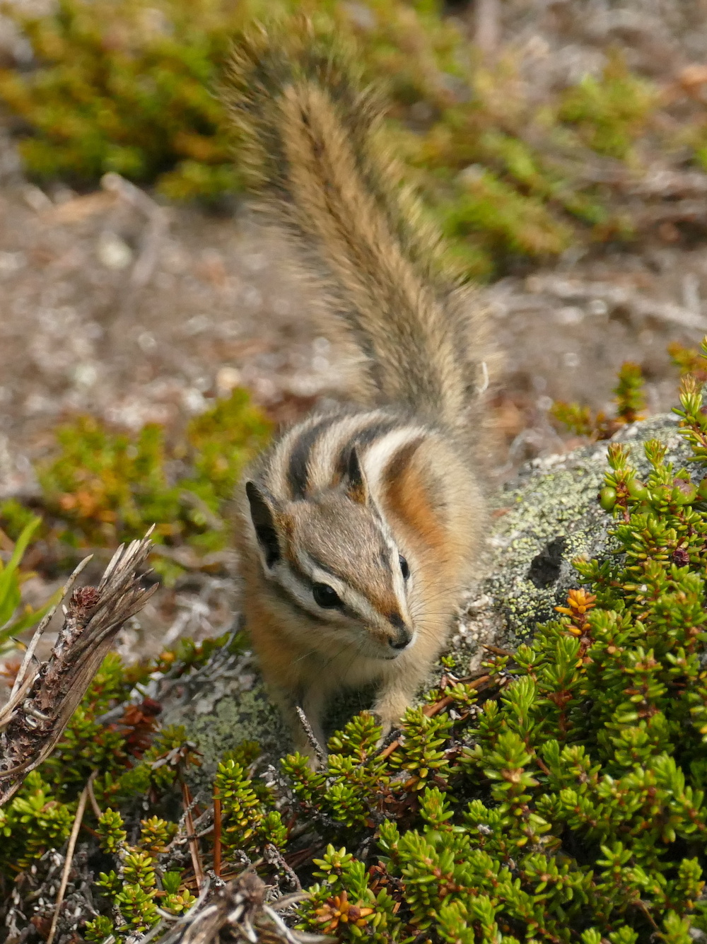 Striped ground-squirrel © Melanie Marchand