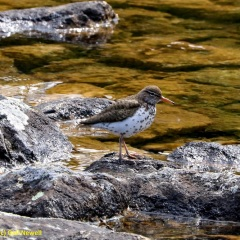 Spotted Sandpiper © Gail Newell
