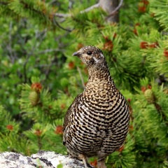 Female Spruce Grouse © Gail Newell