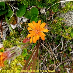Orange Mountain Dandelion - Ageroseris aurantiaca © Gail Newell