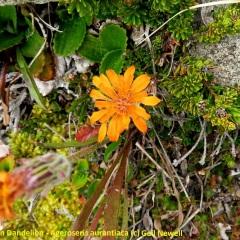 Orange Mountain Dandelion - Ageroseris aurantiaca © Gail Newell