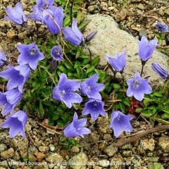 Mountain Harebell bouquet - Campanula lasiocarpa © Gail Newell