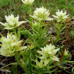 White Variant  Paintbrush - Castilleja parviflora © Gail Newell