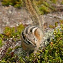 Striped ground-squirrel © Melanie Marchand